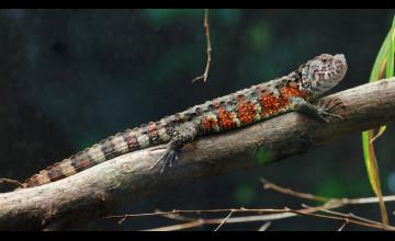 Alligator Lizard Wallpapers
