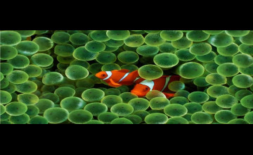 Apple Clown Fish Wallpaper