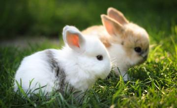Baby Bunny Wallpaper