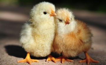 Baby Chickens Wallpaper
