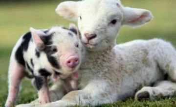 Baby Farm Animal Wallpaper