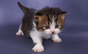 Baby Kitten Wallpapers