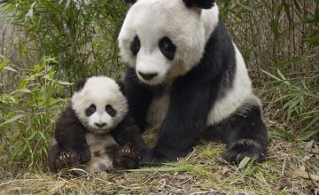Baby Pandas Wallpaper