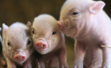 Baby Pig Wallpaper