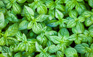 Basil Wallpaper