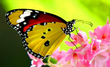 Beautiful Butterfly Wallpapers for Desktop
