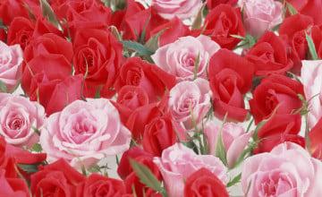 Beautiful Rose Flowers Wallpapers