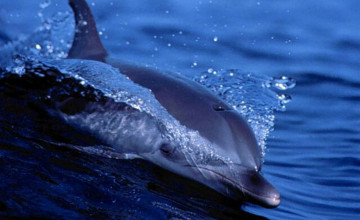 Bing Dolphin Wallpaper