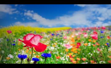 Bing Images Wallpaper Flowers