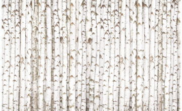 Birch Pattern Wallpaper