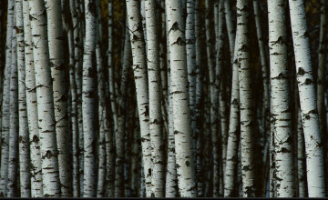 Birch Tree Wallpaper for Walls