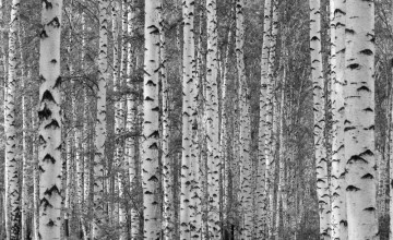 Birch Wallpaper Canada