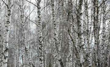 Birch Wood Wallpaper