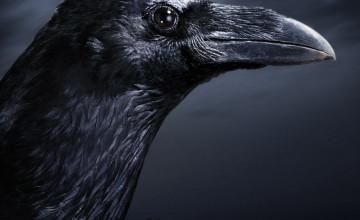Black Crow Wallpaper