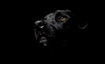 Black Lab Wallpaper Desktop