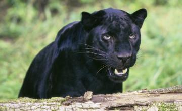 Black Leopard Wallpaper