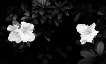 Black Wallpaper with White Flowers