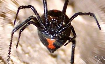 Black Widow Spider Wallpaper