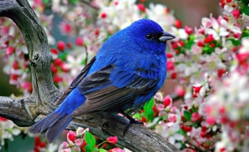 Blue Birds Desktop Wallpaper Free