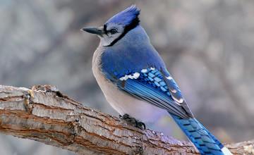 Blue Jay Wallpaper HD