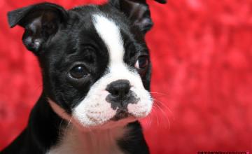 Boston Terrier Dogs Wallpapers