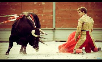 Bull Fighting Wallpaper