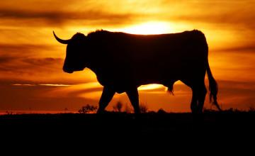 Bull Wallpapers
