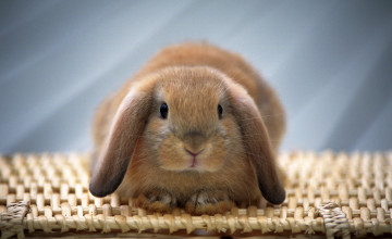 Bunny Wallpapers Free