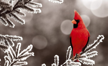 Cardinals in Snow Wallpaper