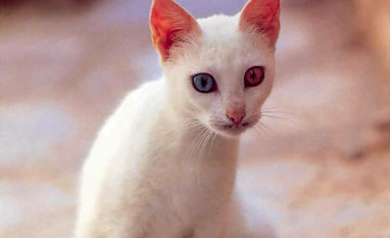 Cats Wallpaper Images Different Colors