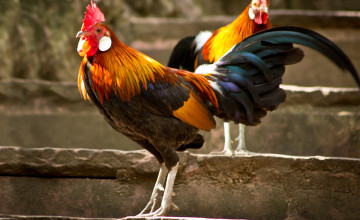 Chicken Rooster Hen Wallpaper