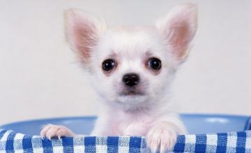 Chihuahua Dogs Wallpaper