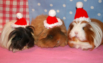 Christmas Guinea Pig Wallpaper