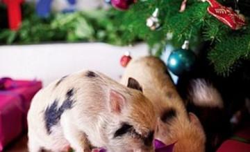 Christmas Pig Wallpaper