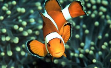 Clown Fish Wallpaper HD