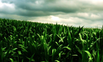 Cornfield Pictures Hi Resolution Wallpapers