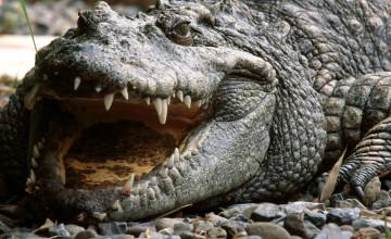 Croc Wallpaper