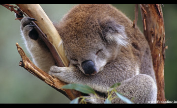 Cute Baby Koala Wallpaper Wallpapersafari