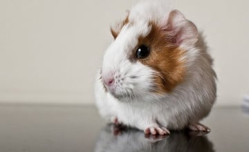 Cute Guinea Pig Wallpaper