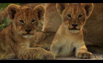 Cute Lion Cubs Wallpaper