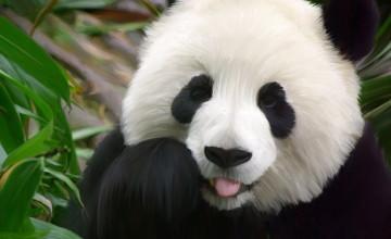 Cute Panda Wallpapers Desktop
