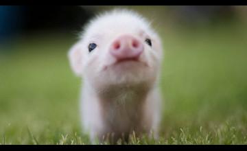 Cute Pig Wallpaper
