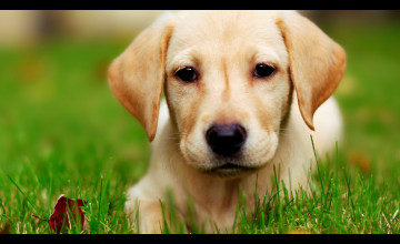 Cute Puppy Wallpaper Free