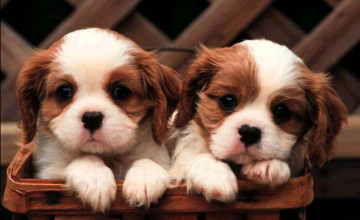 Cute Wallpapers of Dogs