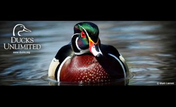 Ducks Unlimited Screen Wallpaper