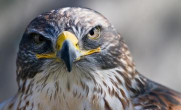 Falcon Wallpaper