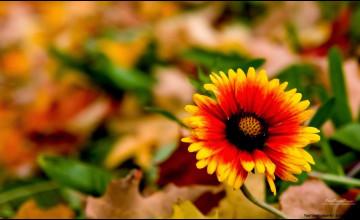 Fall Flower Wallpapers for Desktop