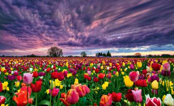 Field of Tulips Wallpaper