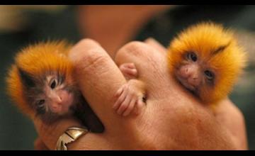 Finger Monkey Wallpaper