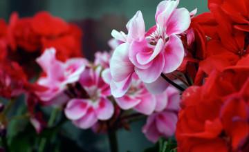 Flowers Wallpaper HD 1080P